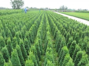 buxus piramide machinaal knippen