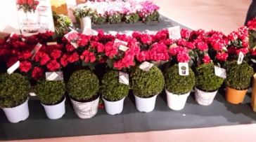 Buxus jeans of garden margriet winterfair 2015